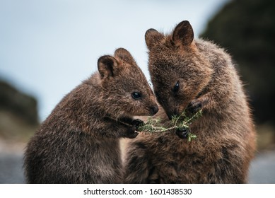 Baby and mother quokka eating green twigs. Close up of cute quokkas on Rottnest Island, Western Australia