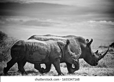 Baby And Mother Rhino In Ol Jogi In Kenya