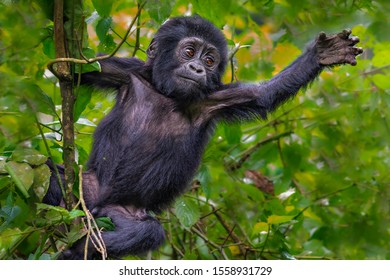Baby mountain gorilla in Bwindi, Uganda, Africa