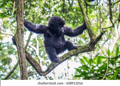 Baby Mountain gorilla climbing in a tree in the Virunga National Park, Democratic Republic Of Congo.
