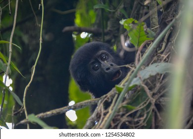 Baby mountain gorilla cute expression in the trees