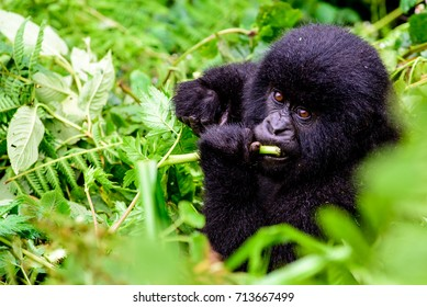 baby mountain gorilla feeding in the bush