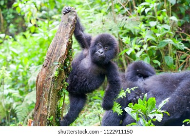 Baby Mountain Gorilla hanging off a tree branch and being playful in the jungle of Rawanda
