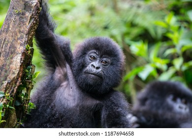 Baby Mountain Gorilla hanging off a tree branch and being playful in the jungle of Rwanda.