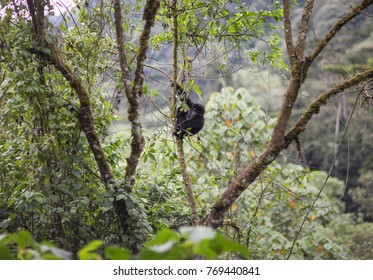 Baby Mountain Gorilla hanging from a tree in Bwindi Impenetrable Forest National Park in Uganda