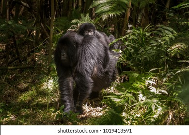 Baby Mountain gorilla holds on to its mother's back while moving through the mountain slopes in Volcanoes National Park, Rwanda