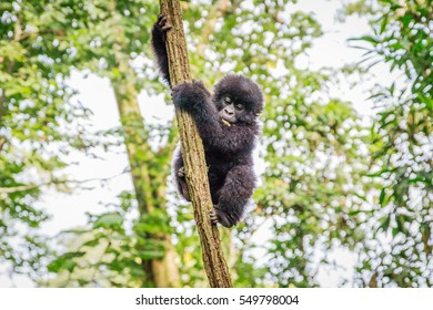 Baby Mountain gorilla playing in a tree in the Virunga National Park, Democratic Republic Of Congo.