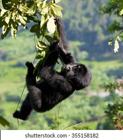 A baby mountain gorilla in a tree. Uganda. Bwindi Impenetrable Forest National Park. An excellent illustration.