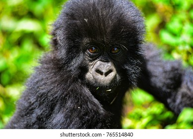 Baby mountain Gorilla  in the Virunga Mountains of Rwanda.