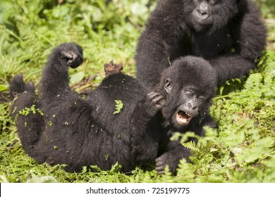 Baby mountain gorillas wrestling in the jungles of Rwanda, Africa