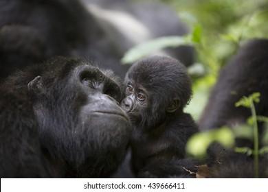 A baby mountain wild gorilla kisses his mother