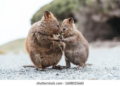 Baby and mum quokka eating green twigs. Cute quokkas on Rottnest Island, Western Australia. Animal family