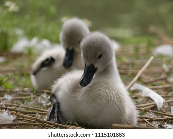 Baby Mute swans  (Cygnus olor) , Cygnets, sitting and preening. Front cygnet close up, in focus, rear cygnet in bokeh