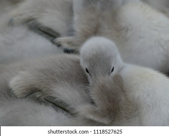 Baby Mute swans  (Cygnus olor), Cygnets, resting together filling the whole picture. Can see the eyes of one cygnet looking towards the camera