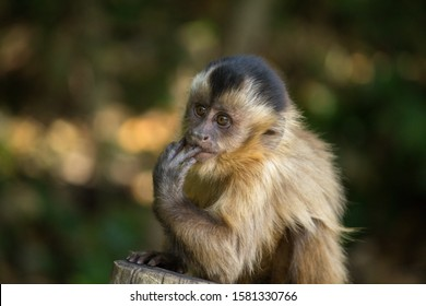 Baby nail monkey sucking fingers
