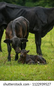 Baby newborn black cow calf in green field with herd of cattle
