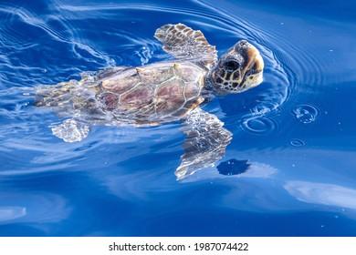 baby newborn caretta turtle near sea surface for breathing in mediterranean