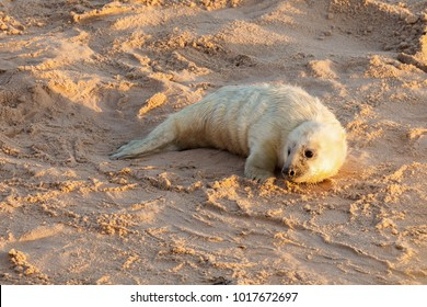 Baby newborn seal with white fluffy coat waiting on the sandy beach for food from mummy. Norfolk coastline at Horsey Gap