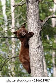 Baby North American Black Bear in tree