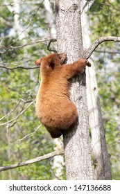 Baby North American Black Bear