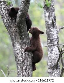Baby North American Black Bears in tree