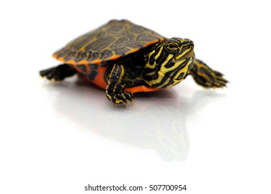 Baby northern red-bellied turtle on white background.
