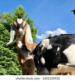 Baby Nubian dairy goats standing in the sunshine