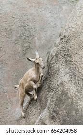 Baby Nubian Ibex climbing up a mountainside