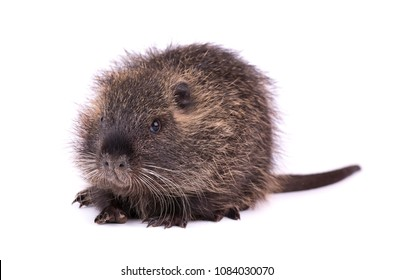Baby nutria isolated on white background. One brown coypu (Myocastor coypus) isolated.
