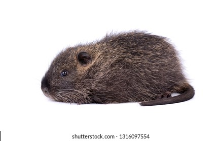 Baby nutria isolated on white background. One brown coypu -Myocastor coypus, isolated.