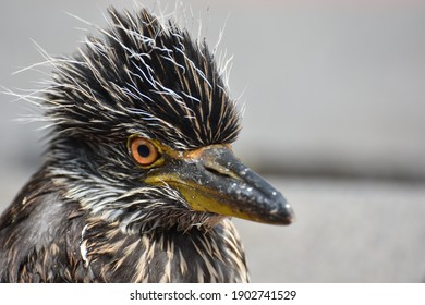 A baby Nyctanassa violacea caliginis(Yellow crowned Night Heron) sitting on the ground enjoying the sun.