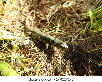 Baby Ocellated Lizard (Lacerta lepidaes)