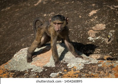 Baby olive baboon standing on lichen-covered rock