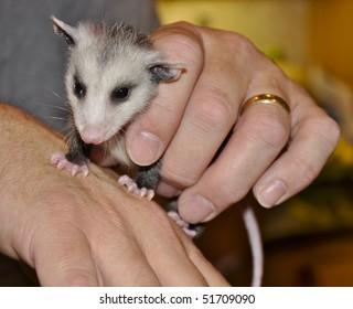 Baby Opossum being held