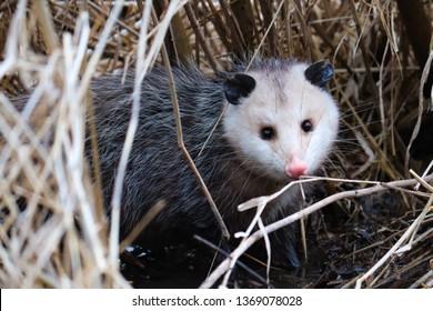 Baby opossum hiking through the swampy prairies in norther Illinois