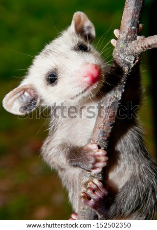 Baby Opossum learning to climb