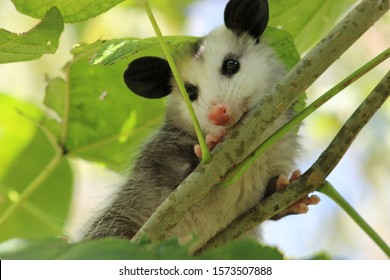 Baby Opossum relaxing in a tree
