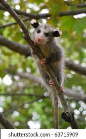 Baby Opossum in Tree
