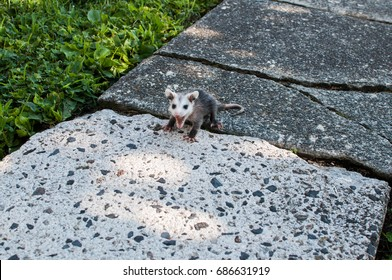 Baby opossum visiting my back yard in Pottstown Pennsylvania