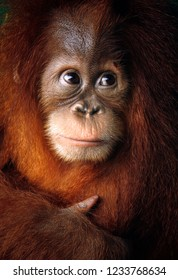 Baby orangutan close up detailed