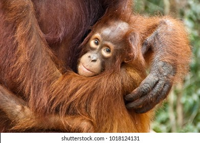 Baby orangutan is cradled by its mother at the feeding station at Camp Leakey, in Tanjung Puting National Park, Kalimantan, Indonesia