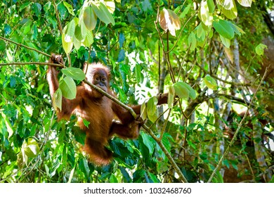 Baby orangutan eats a branch and looks up (Sumatra, Indonesia)