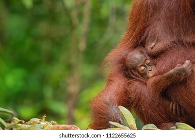 Baby orangutan (orang-utan) with his mother in his natural environment in the rainforest on Borneo (Kalimantan) island with trees and palms behind.