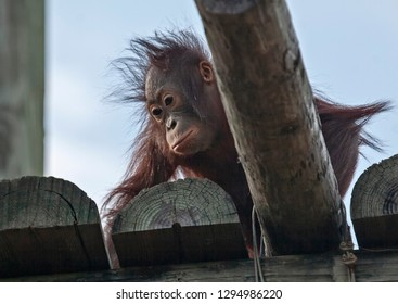 Baby Orangutan looking down from a high platform