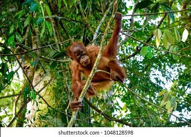 Baby orangutan posing in fron of a camera (Sumatra, Indonesia)