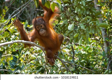Baby orangutan swings through the branches at Camp Leakey, in Tanjung Puting National Park, Kalimantan, Indonesia