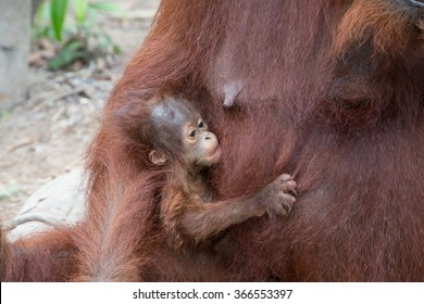 The baby orangutan in the wild jungle. Indonesia. The island of Kalimantan (Borneo). An excellent illustration.