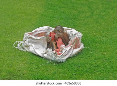 Baby orangutan , young ape having fun playing in refuse sack