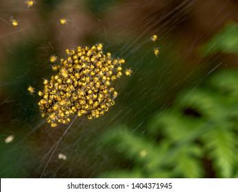 Baby orb weaver spiders, spiderlings, in nest, Yellow and black, macro.
