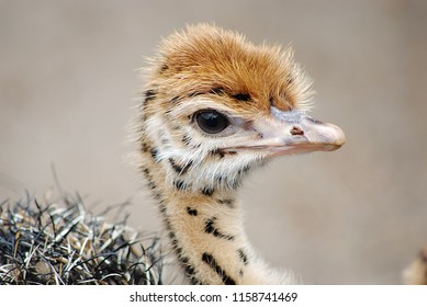 Baby ostrich chick with distinctive spots . Close-up head